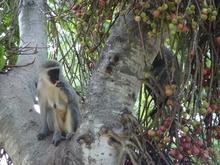 0022vervet_monkey0