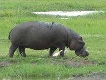 0081hippopotamus