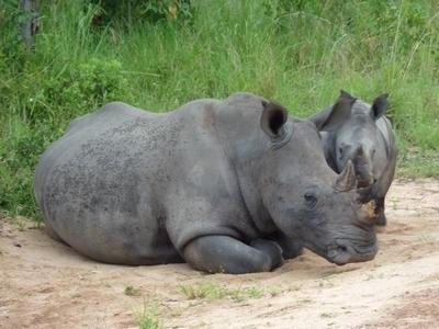 010white_rhinoceros